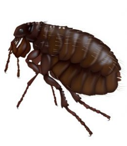 fleas-in-north-west-georgia