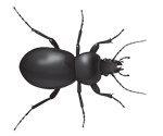ground-beetles-in-ga