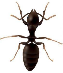 odorous-house-ants-in-georgia
