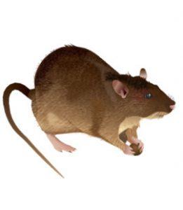 rats in georgia