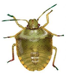stink-bugs-in-georgia