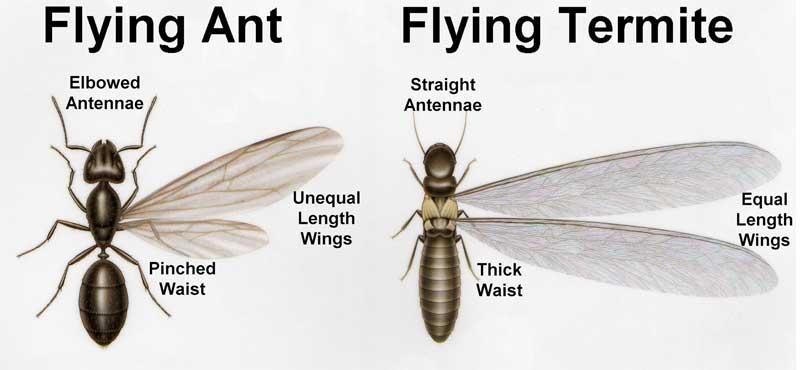 What do termites look like in australia 11